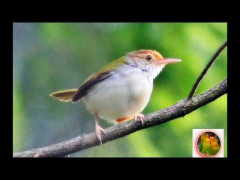 Download Lagu Kicau Burung MASTERAN CIBLEK untuk Isian KENARI