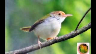 Kicau Burung MASTERAN CIBLEK untuk Isian KENARI