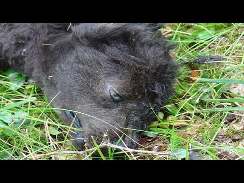 Giant Dire Wolf creature killed in Montana - Monster Info1-14