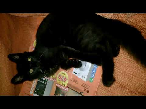 LOKY: the black european cat playing