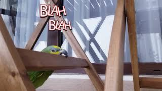 Funny Animals - Amazon Parrot loves music 🦜🎼 #amazonparrot #funnyanimals #bestvines
