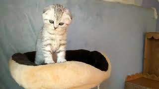 шотландские котята Харьков,Украина