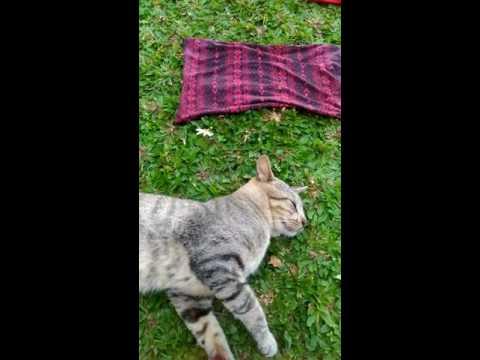 Kucing vs kapelo lg ehek ehek.. lucu bgt.