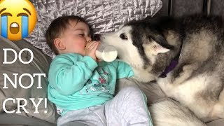 Baby Demands Cuddles & Kisses From His Huskies! [WAIT TILL THE END!!!]