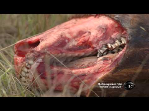 Gruesome Livestock Mutilations | The Unexplained Files