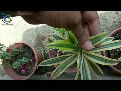 How to care of SONG OF INDIA (Dracaena reflexa) : aiye hawa saaf kare