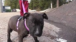 Amstaffi Luna - Amerikanstaffordshirenterrieri - American Staffordshire Terrier