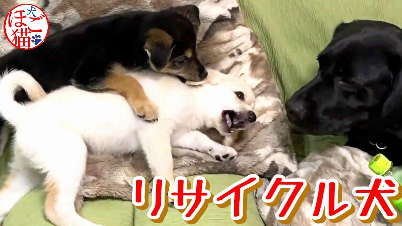 【子犬 子猫 保護犬 保護猫】リサイクル犬ジオと 邪魔する子犬達