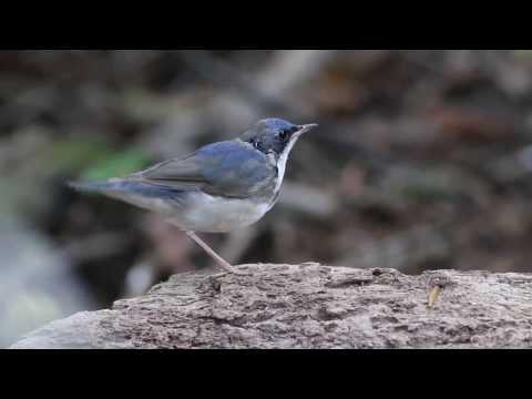 Male Siberian Blue Robin ( 藍歌鴝 )  -Singapore.