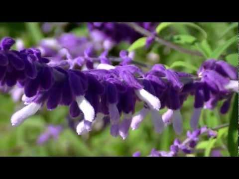 SALVIA DE JARDÍN: Salvia leucantha (www.riomoros.com)