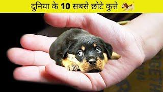 10 सबसे छोटी नस्ल के कुत्ते   10 Smallest Dogs in the World