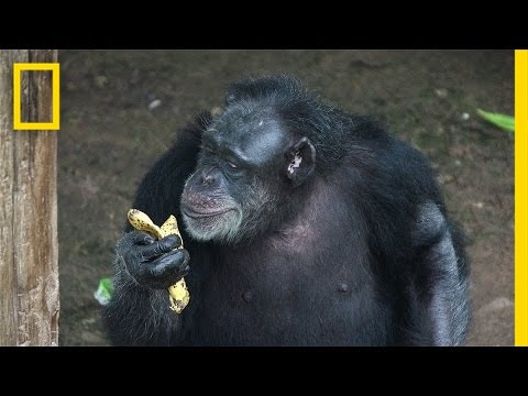 Inside a Retirement Home for Lab Chimps | National Geographic
