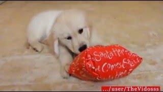 Собаки тоже любят подарки! Приколы с собаками! Смешные собаки!