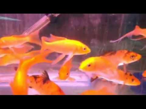 #127. How To Identify Koi & Goldfish?
