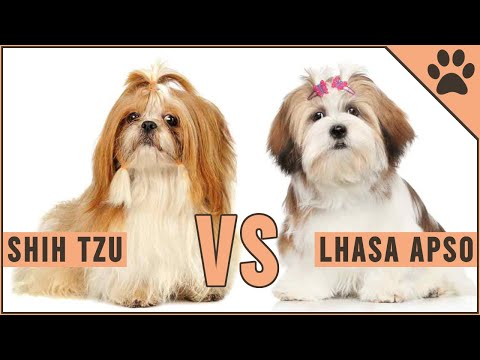 Shih Tzu vs Lhaso Apso  Which Breed Is Better?