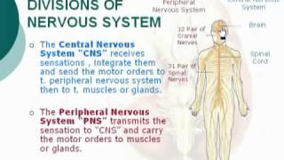 2  Division of Nervous System الدكتور أحمد كمال   Neuroanatomy 2 cxt