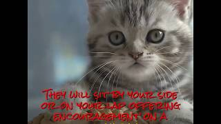 see the cutest cat breeds as kittens colorpoint shorthairs