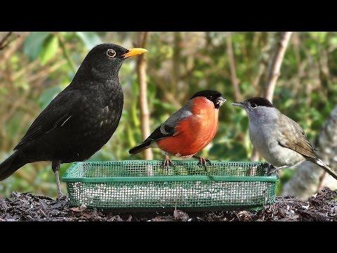Garden Birds - Oiseaux de Jardin - Gartenvögel - Tuinvogels - Trädgårdsfåglar