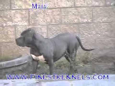 Finestkennels.com , Blue Pitbulls California,Puppies, Videos