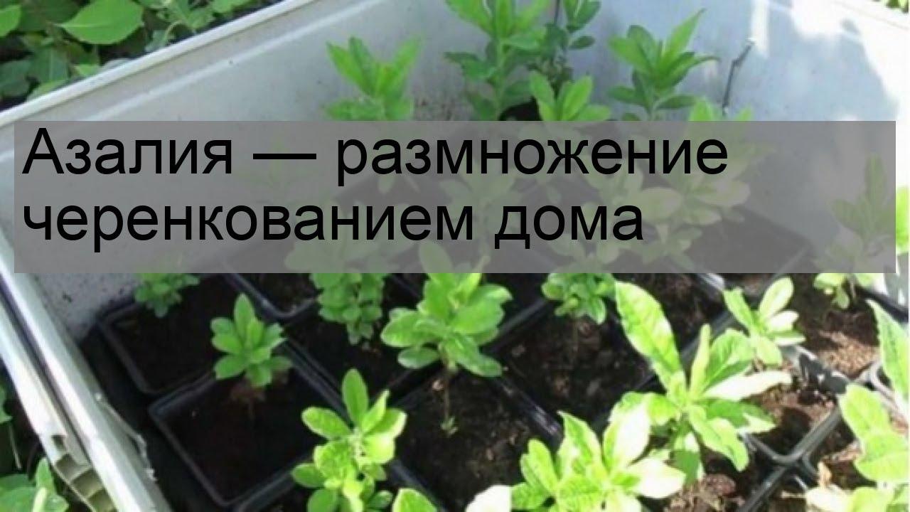 Азалия — размножение черенкованием дома - YouTube