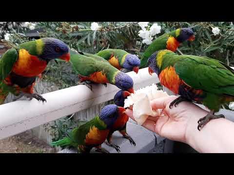Australia, Sydney Manly,Trichoglossus haematodus /Австралия, Многоцветный лорикет на балконе 2