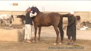 Türkmenlerin Hayatında Atların Önemi - Türkistan Yollarında Afganistan Türkmenleri - TRT Avaz