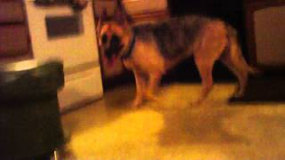 German Shepherd Dog Shaved