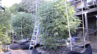2017 outdoor grow norcal getting the net done