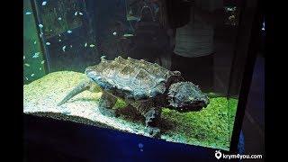 Кормление древней морской черепахи. Виды морских черепах в Алуштинском аквариуме Крыма!!