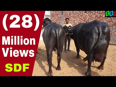 "27 kg milk record murrah buffalo who""s daughter gives more than 25 kg milk"