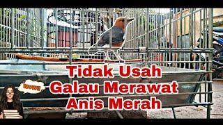 Tidak Usah Galau Merawat Burung Anis Merah/Punglor Merah