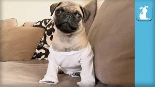 Hilarious Pug Puppy In A Onesie - Puppy Love