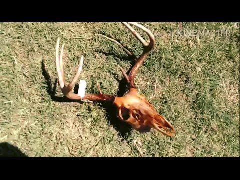 How To Clean A Deer Skull. Bury It, European Mount