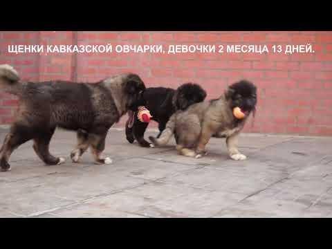 Продажа щенков Кавказской овчарки. Www.r-risk.ru +79262205603 Ягодкина Татьяна