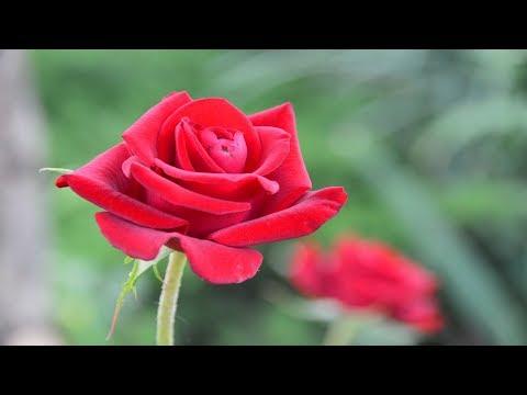 Розы можно посадить летом.  Результат летних посадок роз.