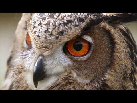 Gizmo the Eurasian Eagle Owl