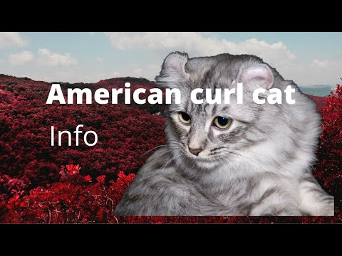 # 2 American curl cat information with Relaxing music