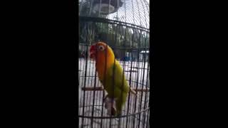 Lovebird ngecik ngekek panjang