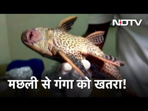 Ganga नदी में Amazon की मछली मिलने से बढ़ी चिंता