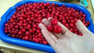 СЫРОЕДЕНИЕ 20 - 25 день | Начало чистки| Заготовки ягод -  калина, боярышник, барбарис, облепиха