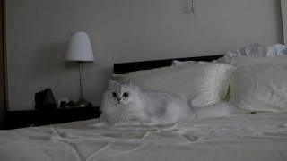 シャドーハンティングするチンチラ( Cute Persian Cat Shadow-Hunting!)
