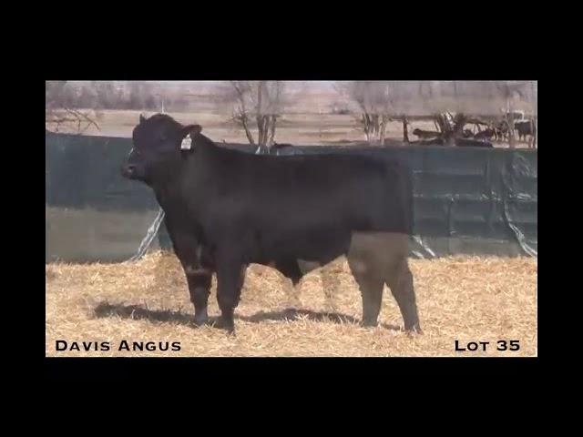 Davis Angus Lot 35