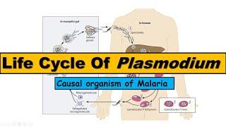nevezze meg a Plasmodium malária végleges gazdaszervezetét)