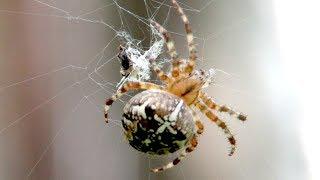 Паук крестовик семейства кругопрядов, European garden spider