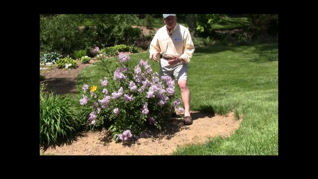 Best Flowering Shrubs Dwarf Lilac Red Pixie Youtube