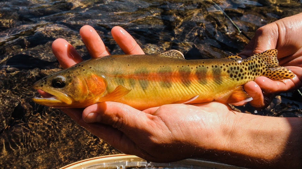 FLY FISHING FOR GOLDEN TROUT    Montana Alpine Wilderness    Excerpt from