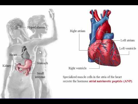 System Endocrine: System Endocrine Glands In Organ - YouTube