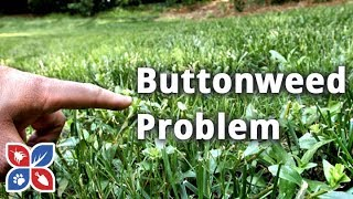 Do My Own Lawn Care  -  How to Get Rid of and Identify Buttonweed