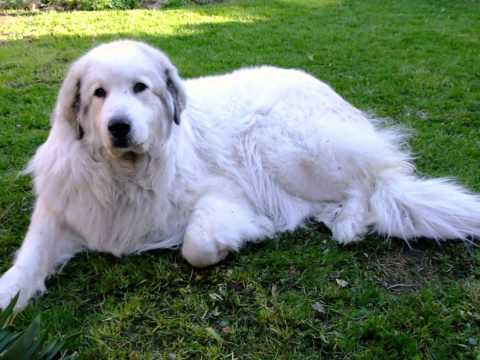 Pyrenean Mountain Dogs - Great Pyrenees @ Penellcy In Loving Memory of Lucy 04/06/2001 - 01/05/2012