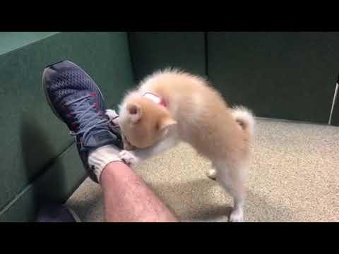 Pomeranian Alaskan Klee Kai plays with keys